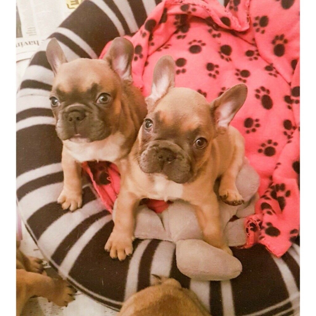 Stunning KC Registered French Bulldog Puppies For Sale!!!