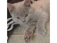 British Short Hair lilac Male 3 months old
