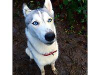 Siberian Husky needing a new home!