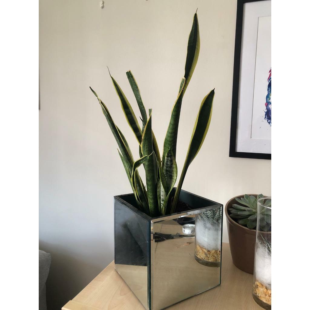 Plant In Mirrored Pot In Angel London Gumtree