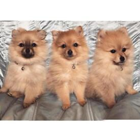 Three stunning Pomeranian puppies