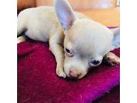Chihuahua Lilac green eyed boys K.c. reg Ready Now