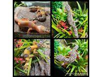 Vivarium gecko