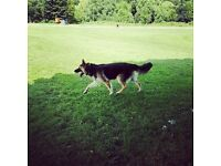 German Shepherd Well Trained for sale