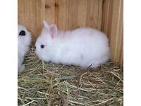 Lionhead X baby bunnies for sale x3 left