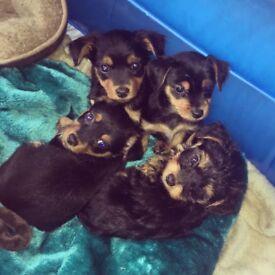 Yorkshire terrier x jackadoodle puppies