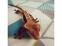 Male Quad-Stripe Crested Gecko for Sale