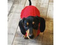 Female miniature dachshund