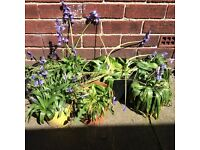 BLUEBELLS!!!! Free to a good home !!!