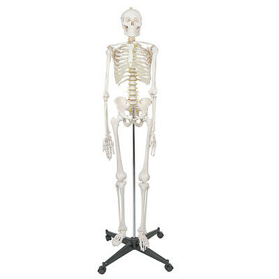 Life Size Human Anatomical Anatomy Skeleton Medical Model Stand 70