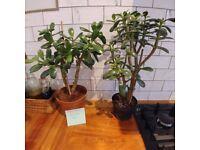 Money plants indoor house plants