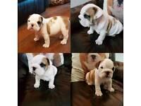Beautiful British Bulldog Puppies