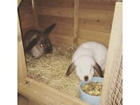 2 x rabbits - free to a good home