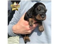 Longhair miniature dachshunds KC registered