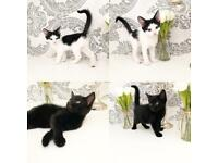 Beautiful 8 week old kittens