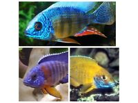 fish 3 x Malawi peacocks cichlid african. 2 Inch