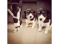 King Charles x Jack Russel puppy