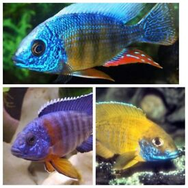 fish 3 x Malawi peacocks cichlid - £3 Each- 2 Inch