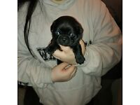 Pug puppies ready to reserve now