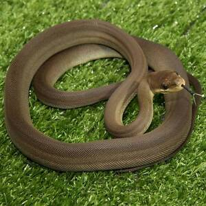 Olive Python Hatchlings Howard Springs Litchfield Area Preview