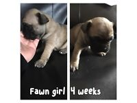 Beautiful dark brindle and fawn French bulldog puppies