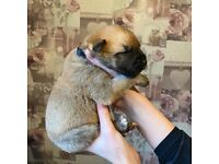 Dogue de Bordeaux Rottweiler bullmastiff puppies