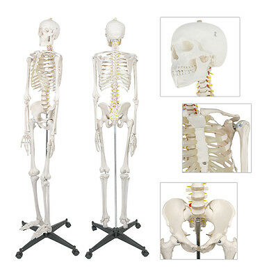 New 6ft Life Size Human Anatomical Anatomy Skeleton Medical Model Stand 70