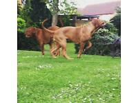 2 beautiful KC Reg Dogue De Bordeaux for sale