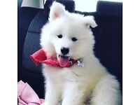 10 Week Male Pedigree Samoyed Puppy for sale