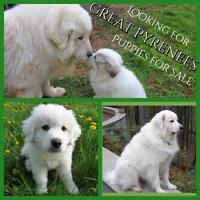 Great Pyrenees or Maremma Pups