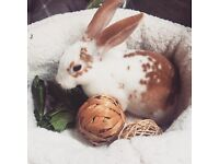 Young female Rex rabbit
