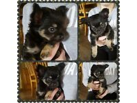 Beautiful Chihuahua Puppy. KC registered. Very small!