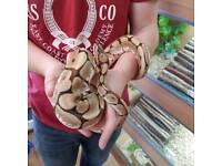 Female spider royal ball pythons