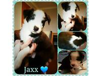 3 Collie Pups Left READY NOW!!