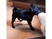 Pug x chihuahua chug puppy female