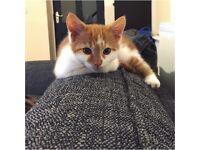Cute ginger kitten - male