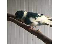 Blue pied Kakarikes