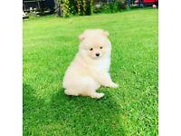 SOLD Miniature Pomeranian puppies for sale