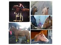 Pony for Part Loan. Small Adult