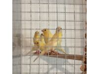 Gold mosaic canaries / diamorphics for sale