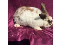 Male rabbit 4 months old for sale!