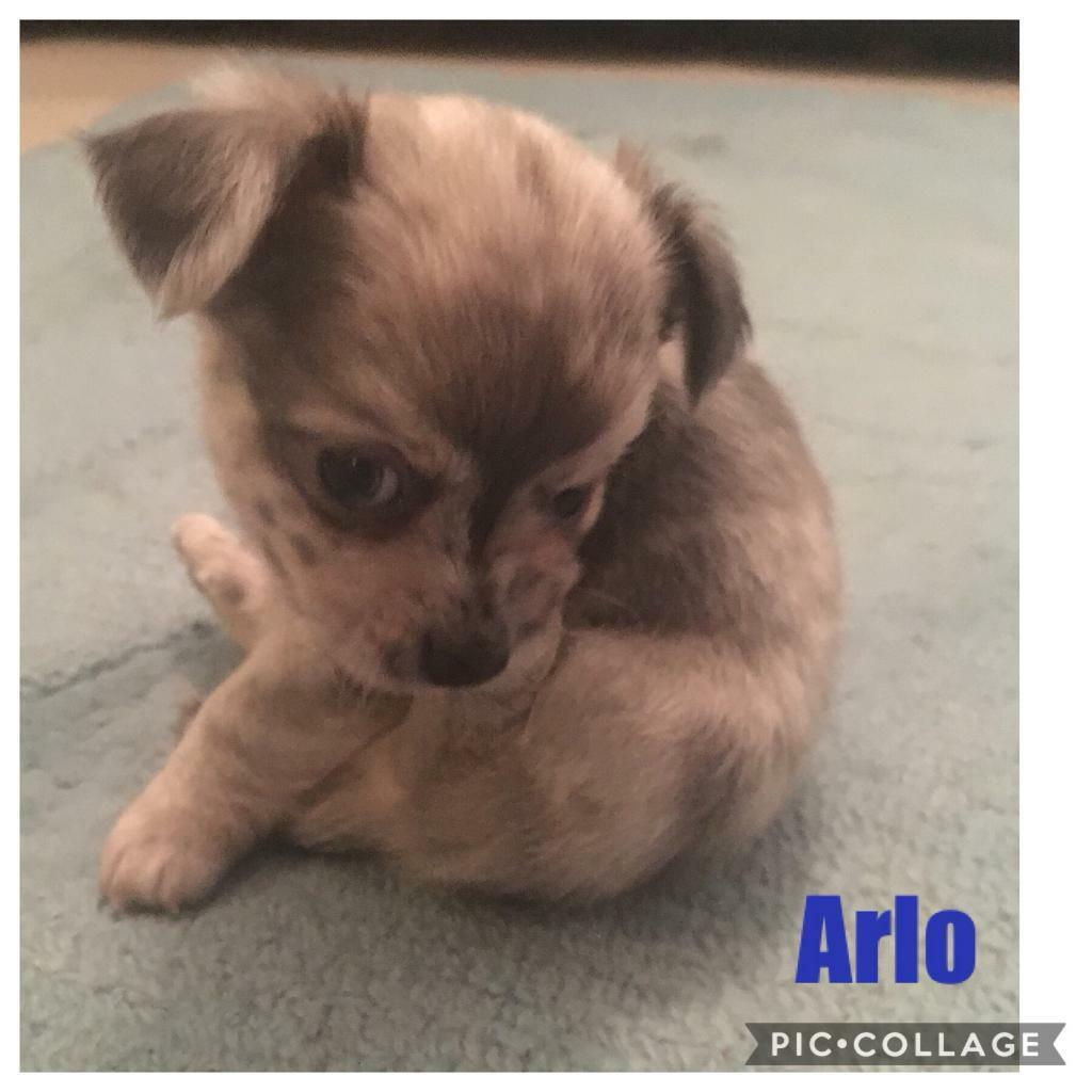 Blue Merle Chihuahua Puppies In Llandysul Ceredigion Gumtree
