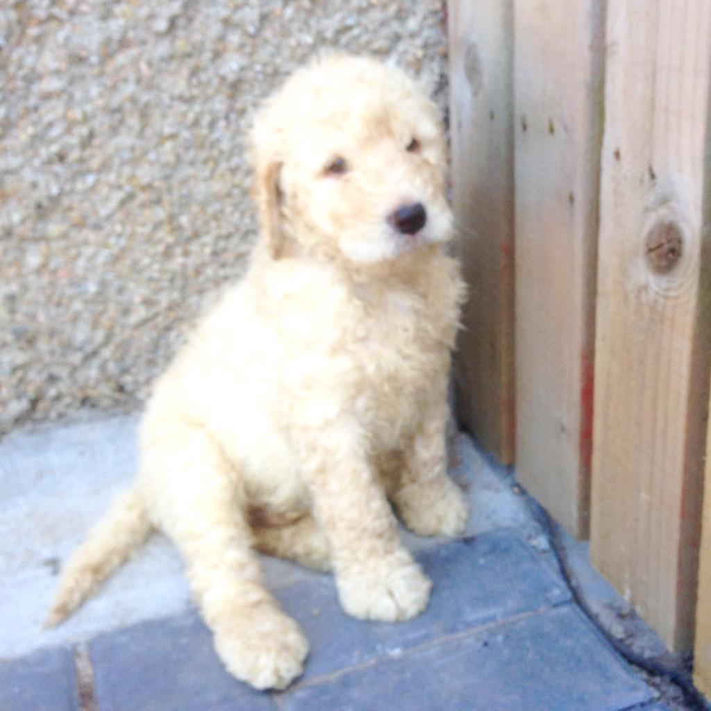 Dogs For Sale Aberdeen Gumtree
