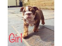 Lilac, Chocolate and Tan British Bulldogs for sale! MESSAGE FOR PRICES!