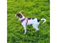 4,5 months old JR Jack Russel puppy