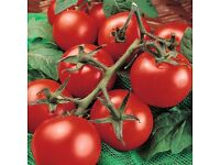 tomato plants money maker growing in 9cm pots
