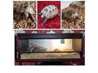 7 Year Old Horsefield Tortoise needs to be re-homed- Vivarium included including heat mat. Gravesend