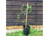 Young passiflora plant for sale