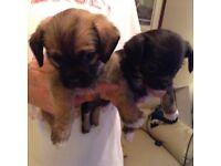 Lhasachi Puppies
