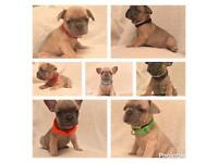 French bulldog pups . Lilac fawns , blue fawns, girls and boys available. IRON MAN PUPS!